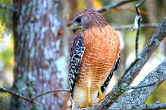 Hawk upclose with beautiful colors Royalty Free Stock Images