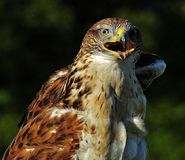 Hawk upper body. Hawk on a sunny day staring straight ahead with feathers ruffling in the breeze royalty free stock images