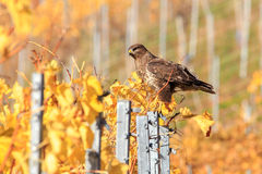 Hawk in the vineyards Royalty Free Stock Photo