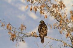 Hawk Watch imágenes de archivo libres de regalías