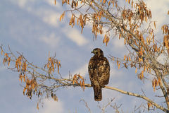 Hawk Watch Royalty Free Stock Images