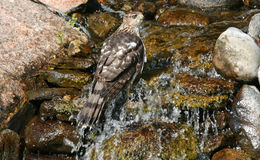 Hawk in waterfall Royalty Free Stock Photo