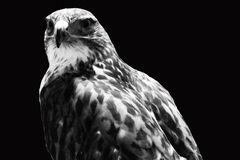 The hawk Stock Photography
