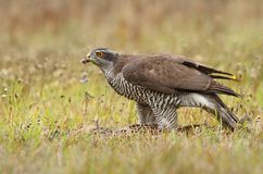 Hawk with wild pheasant Royalty Free Stock Photos