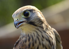 Hawk wildlife Royalty Free Stock Photos