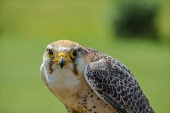 A HAWK WAITING FOR ITS FOOD royalty free stock photo