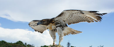 Hawk with wings on Stock Photography