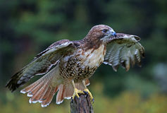 Hawk Wings Spread Rosso-munito Fotografie Stock