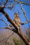 Hawk in Winter Poplar Royalty Free Stock Photo