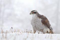 Hawk in winter Royalty Free Stock Photo