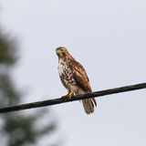 Hawk on a Wire Stock Photo