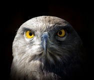 Hawk with yellow eyes Royalty Free Stock Photography