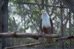 Hawk in the zoo Royalty Free Stock Image