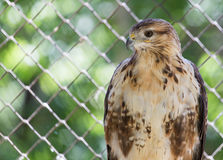 Hawk in zoo Stock Photography
