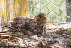 Hawk in zoo Royalty Free Stock Images