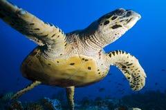 Hawkbill海龟/玳瑁imbricata 图库摄影