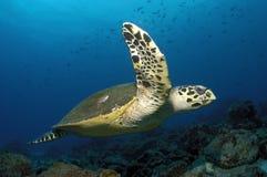 HAWKBILL海龟 免版税库存照片