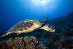 HAWKBILL海龟 图库摄影