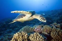 HAWKBILL海龟 免版税库存图片