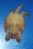 HAWKBILL海龟 库存照片
