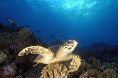 HAWKBILL海龟 库存图片