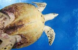 HAWKBILL海龟/eretmochelys imbricata 免版税库存照片