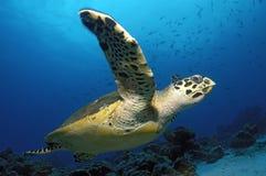 HAWKBILL SEA TURTLE. SWIMMING ON THE BLUE Stock Photos