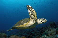 HAWKBILL SEA TURTLE. SWIMMING CLOSE TO THE CAMERA Royalty Free Stock Photo