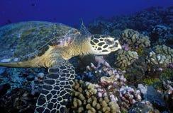 HAWKBILL SEA TURTLE Stock Images