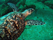 Hawkbill Turtle. This image was taken off the beach in Pompano beach, Florida. A place called 12th street royalty free stock photos