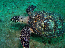 Hawkbill Turtle. This image was taken off the beach in Pompano beach, Florida. A place called 12th street Stock Photo
