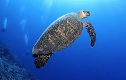 HAWKBILL海TURTLE/erethmochelys imricata 库存照片