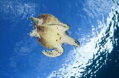 HAWKBILLL海龟/eretmochelys imbricata 库存照片