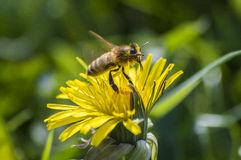 Hawkbit with bee. Bee flying away covered with pollen royalty free stock photos