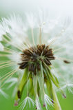 Hawkbit in seed Stock Photo