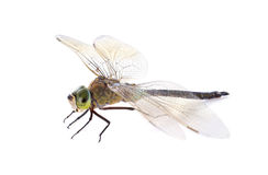 Hawker dragonfly Royalty Free Stock Photos