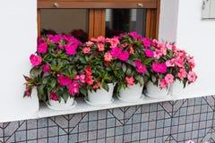 Hawkeri cor-de-rosa brilhante dos impatiens, os impatiens de Nova Guiné, em uns potenciômetros de flor Foto de Stock Royalty Free