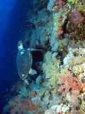 Hawkesbill żółw Zdjęcia Royalty Free
