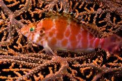 hawkfisf印度尼西亚reeffish sulawesi 免版税库存图片