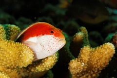 hawkfish海岛similan泰国 库存照片