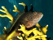 Hawkfish Stock Photo