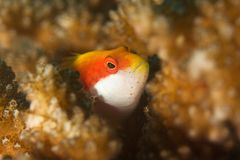 Hawkfish. This underwater picture was taken off Kakaban sland, East Kalimantan, Borneo Indonesia Royalty Free Stock Photos