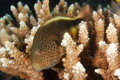 Hawkfish. This underwater picture was taken off Kakaban sland, East Kalimantan, Borneo Indonesia Stock Photo
