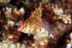 hawkfish Arkivbilder