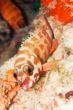 The Hawkfish. On the coral Stock Photos