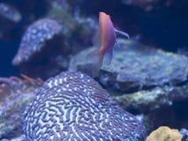 Hawkfish Anthias Στοκ Φωτογραφίες