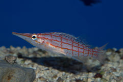 Hawkfish au nez long Photo stock