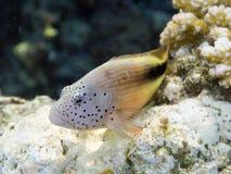 hawkfish blackside стоковое изображение rf