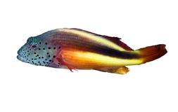 Hawkfish Blackside Стоковые Изображения RF