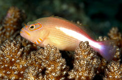 Hawkfish on coral. An arc eyed hawkfish sitting on coral Royalty Free Stock Image
